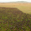 Serengeti Great Migrations - 6 Steps to Answer its Ring of Nature.