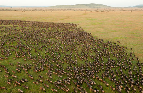 Serengeti Great Migrations – 6 Steps to Answer its Ring of Nature