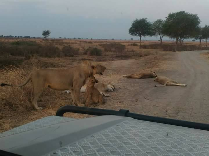 mikumi national park lions spotted